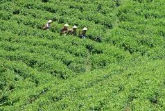 Piantagione di tè Fotografia Stock