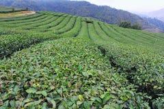 Piantagione di tè Fotografie Stock