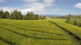Piantagione di tè aerea del metraggio a Cha Gorreana, maia, San Miguel, Azzorre, Portogallo video d archivio
