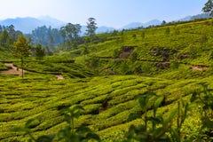 Piantagione di tè alla stazione collinosa in Munnar in India immagini stock