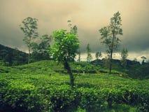 Piantagione di tè in alpeggio dello Sri Lanka Immagini Stock