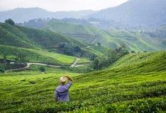 Piantagione di tè in altopiani di Cameron, Malesia Fotografia Stock