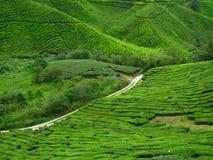 Piantagione di tè in altopiani di Cameron Fotografie Stock