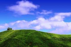 Piantagione di tè in altopiano di Cameron Fotografia Stock Libera da Diritti