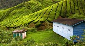 Piantagione di tè in altopiano di Cameron Fotografia Stock