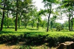 Piantagione di tè in Asam India immagine stock libera da diritti
