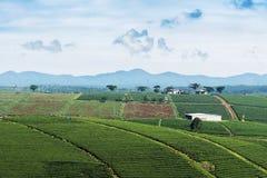 Piantagione di tè in Bao Loc, Lam Dong, Vietnam Immagine Stock