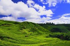 Piantagione di tè in Cameron alto Fotografia Stock Libera da Diritti