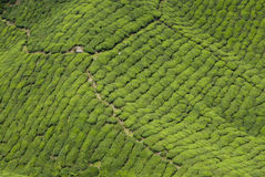 Piantagione di tè, Cameron Highland Fotografia Stock Libera da Diritti