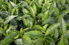 Piantagione di tè Cameroun Fotografie Stock
