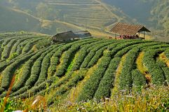Piantagione di tè in Chiang Mai, Tailandia Immagine Stock Libera da Diritti
