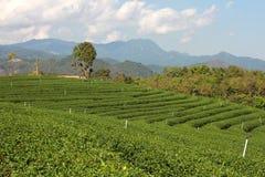 Piantagione di tè in Chiang Rai, stagione invernale in Tailandia Immagini Stock Libere da Diritti