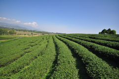 Piantagione di tè in chiangrai Immagine Stock Libera da Diritti