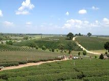 Piantagione di tè di Choui Fong Fotografia Stock