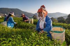 Piantagione di tè a Chui Fong, Chiang Rai, Tailandia fotografie stock