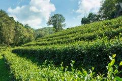 Piantagione di tè con cielo blu Fotografie Stock Libere da Diritti