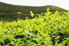 Piantagione di tè con il fuoco sui tiri della foglia di tè Fotografia Stock