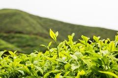 Piantagione di tè con il fuoco sui tiri della foglia di tè Immagini Stock