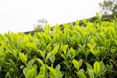 Piantagione di tè con il fuoco sui tiri della foglia di tè Immagini Stock Libere da Diritti