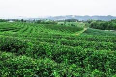 Piantagione di tè con il rinfresco nella stagione delle pioggie Immagine Stock Libera da Diritti