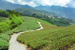 Piantagione di tè con la valle taiwan fotografie stock libere da diritti