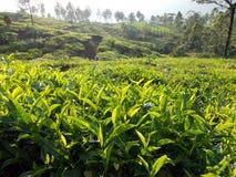 Piantagione di tè così in pieno di verde e di vita fotografia stock