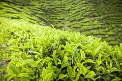 Piantagione di tè degli altopiani di Cameron, Malesia Fotografia Stock