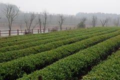 Piantagione di tè del tè di Hangzhou Xihu Longjing Fotografie Stock Libere da Diritti