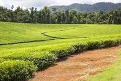 Piantagione di tè della foresta pluviale Fotografia Stock Libera da Diritti