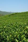 Piantagione di tè della montagna Immagine Stock Libera da Diritti