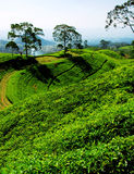 Piantagione di tè di Bandung Fotografia Stock