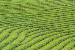 Piantagione di tè di Choui Fong fotografie stock libere da diritti