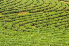 Piantagione di tè di Choui Fong Fotografie Stock