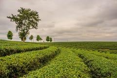 Piantagione di tè di Choui Fong immagine stock libera da diritti