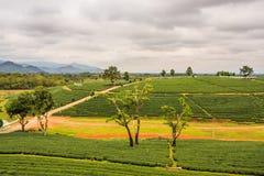 Piantagione di tè di Choui Fong Fotografia Stock Libera da Diritti