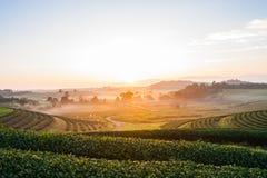 Piantagione di tè di fila nell'alba di mattina Immagine Stock Libera da Diritti