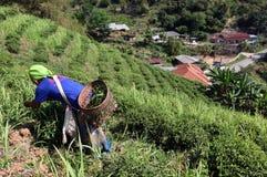 PIANTAGIONE DI TÈ DI MAE SALONG DELL'ASIA TAILANDIA CHIANG RAI Fotografia Stock