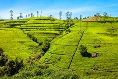 Piantagione di tè di Nuwara Eliya Fotografia Stock