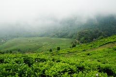 Piantagione di tè di Puncak Fotografia Stock Libera da Diritti