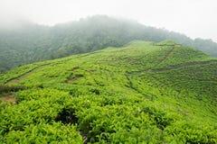 Piantagione di tè di Puncak, Indonesia Fotografie Stock