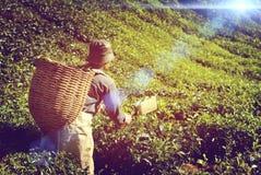 Piantagione di tè di raccolto del lavoratore manuale che raccoglie lavoro di industria Fotografia Stock