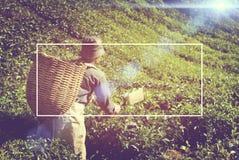 Piantagione di tè di raccolto del lavoratore manuale che raccoglie lavoro di industria Fotografie Stock