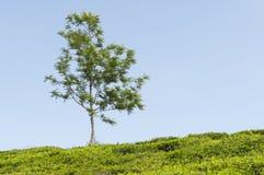 Piantagione di tè e un albero Immagini Stock Libere da Diritti