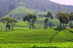 Piantagione di tè in Java fotografia stock