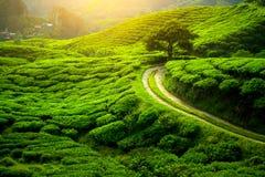 Piantagione di tè Lanscape naturale Immagine Stock