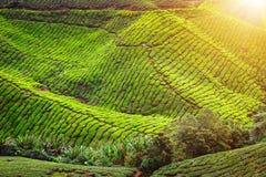 Piantagione di tè Lanscape naturale Fotografie Stock Libere da Diritti