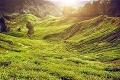 Piantagione di tè Lanscape naturale Fotografia Stock Libera da Diritti
