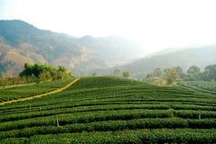 Piantagione di tè a MaeSalong Fotografia Stock Libera da Diritti