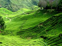 Piantagione di tè, Malesia Immagine Stock Libera da Diritti