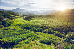 Piantagione di tè in Malesia Fotografia Stock